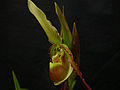 Phragmipedium vittatum 263.jpg