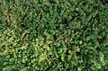Phuopsis stylosa - Parc Floral.jpg