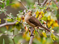 Phylloscopus canariensis -Drago, Gran Canaria, Canary Islands, Spain-8.jpg