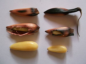 Araucaria araucana - The piñones are similar to pine nuts, but larger; these roasted seeds are 3 cm and 5 cm long, from two different cultivars.