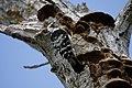 Pica-pau-malhado pequeno ou Pica-pau-galego ( Dryobates minor ) (49870226653).jpg