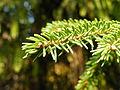 Picea orientalis 23.JPG