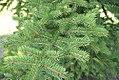 Picea torano 1zz.jpg