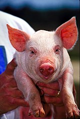 Fine white haired, pink-skinned Sus scrofa