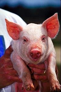 Pig USDA01c0116.jpg