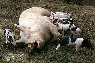 Lactation - Lactation of pigs