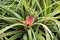 Pineapple Plant (4720030622).jpg