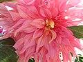 Pink Dahlia Closeup.jpg