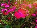 Pink Flowers.jpeg.jpg