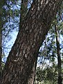 Pinus-pinaster-20071021.jpg