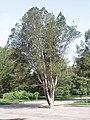 PinusBungeana.jpg