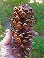 Pinus monticola cone Scorpion Mt WA.jpg