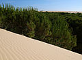 Pinus pinea branches Doñana.jpg
