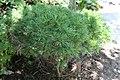 Pinus strobus Horseford Dwarf 2zz.jpg