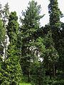 Pinus strobus Syrets1.JPG