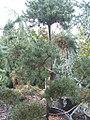 Pinus sylvestris 4zz.jpg
