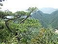 Pinus wangii ssp kwangtungensis, Ruyuan, Shaoguan, Guangdong, China 3.jpg