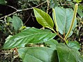 Piper colubrinum 12.JPG