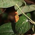 Piper kadsura (fruits s4).jpg