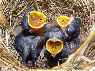 Pipit - Australasian pipit chicks in the nest