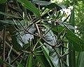 Pisonia umbellifera (5187738855).jpg