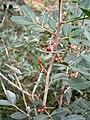 Pistacia lentiscus fruit RHu.JPG