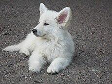 pastor blanco suizo wikipedia la enciclopedia libre