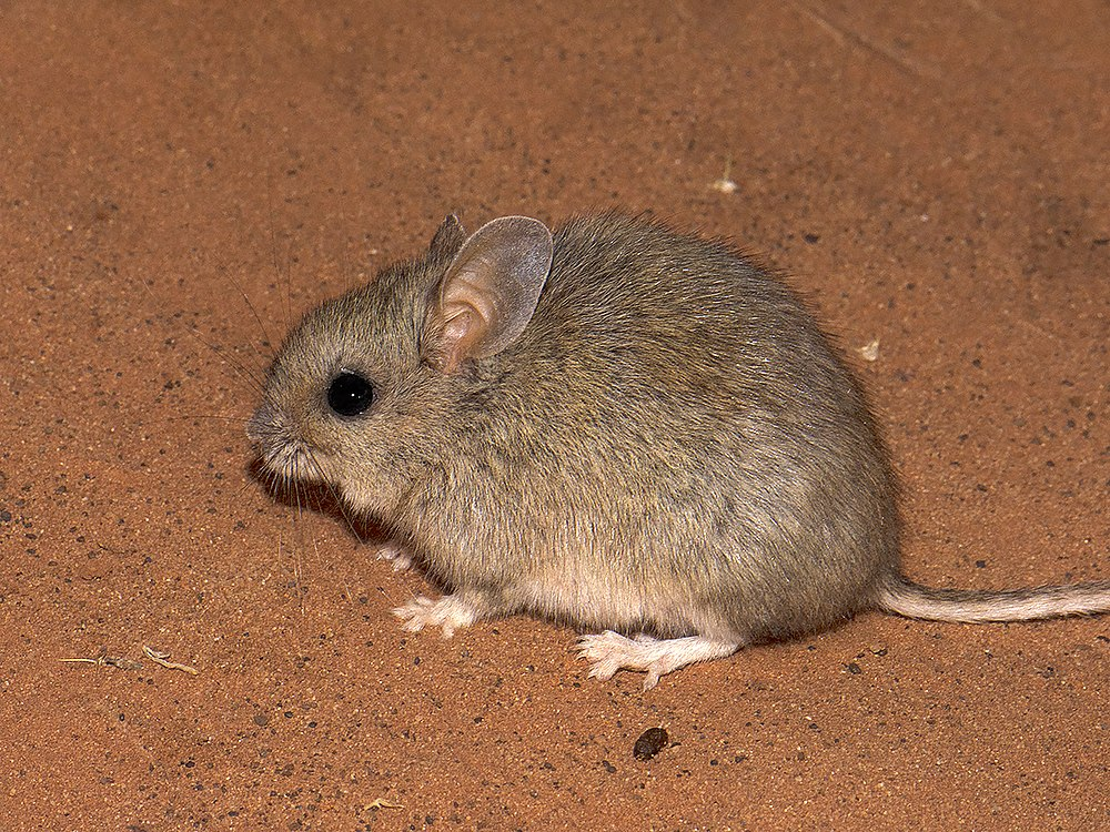 The average litter size of a Plains rat is 3