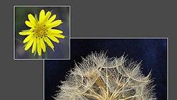 Plant-Tragopogon-Morgenster.jpg