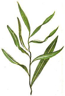 Lista de plantas medicinales de las Repblicas Oriental y