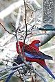 Platycercus elegans -Blue Mountains -bird feeder-8b.jpg