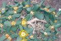 Pleiospilos nobilis.jpg