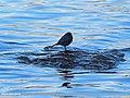 Plumbeous Water Redstart (Rhyacornis fuliginosa) (15869411156).jpg
