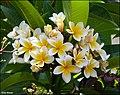Plumeria-wiki-Zachi-Evenor-001a.jpg