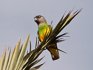 Senegal parrot - In the Canary Islands, Spain