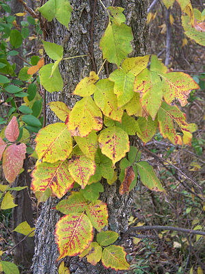Poison Ivy on a tree on Teddy Roosevelt Island