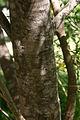 Polygala myrtifolia00.jpg