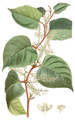 Polygonum cuspidatum - Curtis's Botanical Magazine, t. 6503.png