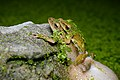 Polypedates megacephalus (mating), Spot-legged tree frog - Khao Nang Phanthurat Forest Park (34388069214).jpg