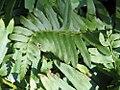 Polystichum acrostichoides 3zz.jpg