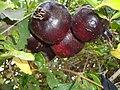 Pomegranate - panoramio (1308).jpg