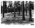 Ponderosa Pine near Ochoco Ranger Station-Oregon-1936.jpg