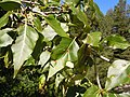 Populus balsamifera (5002984834).jpg
