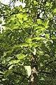 Populus lasiocarpa JPG1a.jpg