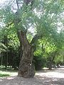 Populus nigra.jpg