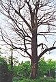 Populus nigra Dreieich.jpg