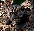 Portrait of a Fishing Cat at Taronga.jpg