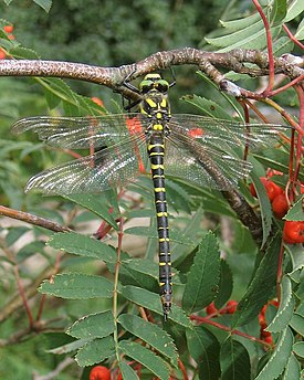 Posing dragonfly near Crummock Water - geograph.org.uk - 239613.jpg