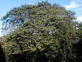 Possible Ulmus 'Scampstoniensis'. Buckingham Terrace, Edinburgh (5).jpg