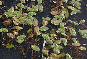 Schwimmendes Laichkraut (Potamogeton natans)